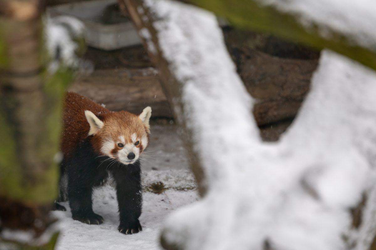 roter panda im schnee jürgen breitenbaumer