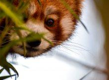 rote pandas population nepal