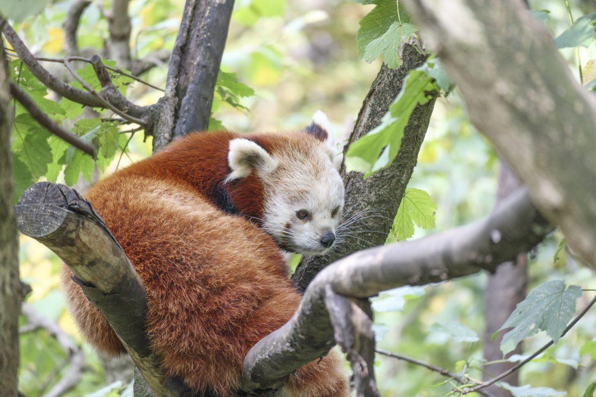 rote pandas tierpark berlin - foto juergen breitenbaumer - breitenbaumer.com - 2017