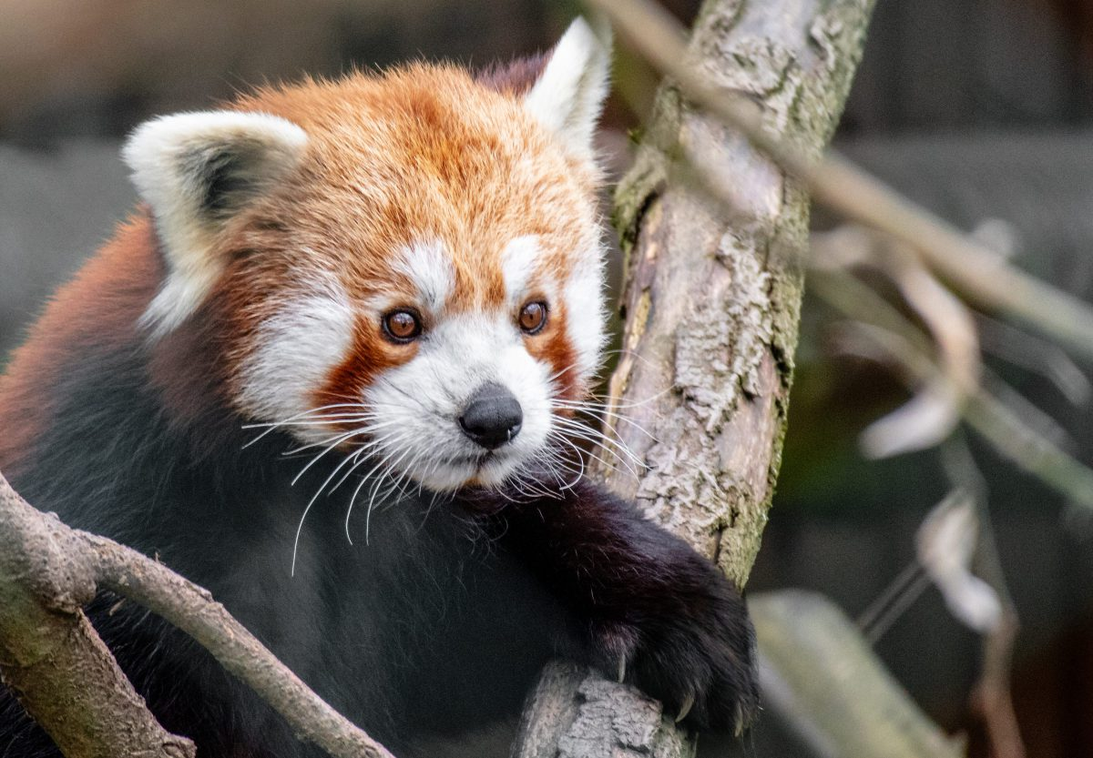 red pandazine newsletter