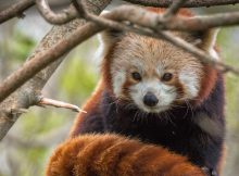red panda zou newquay zoo