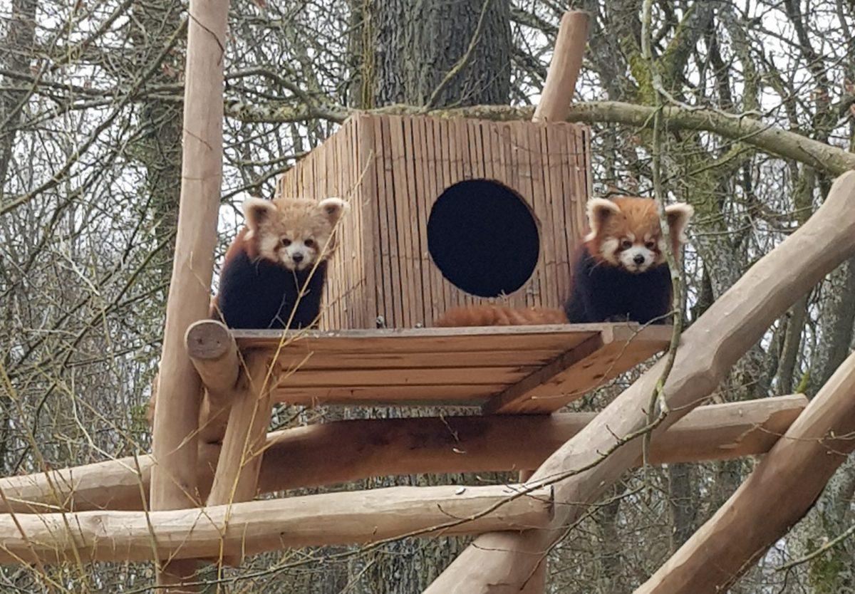 rote pandas luxemburg parc merveilleux