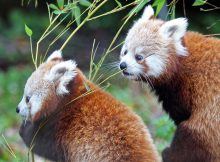 red panda amber autumn