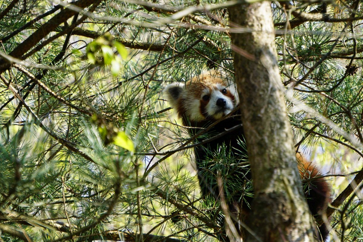 roter panda flin erlebnis-zoo hannover