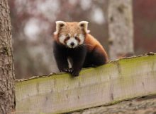 red panda sanka woburn safari park