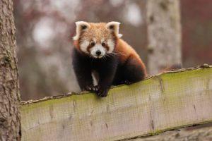 red panda sanka woburn safari park