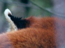 red panda ear