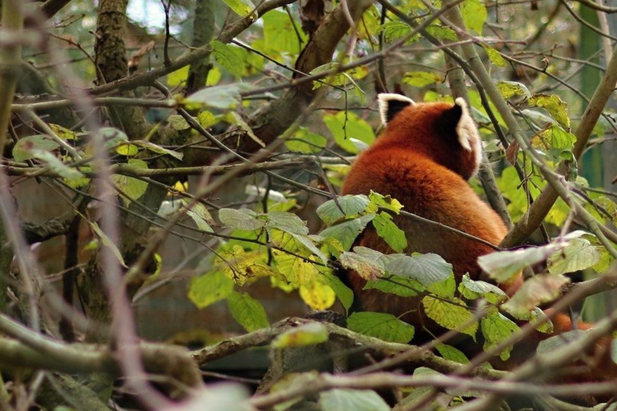 roter panda red panda back