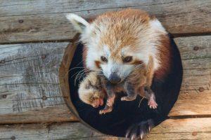 red-panda-panda-roux-mushu-parc-animalier-dauvergne-photo-marie-demoulin