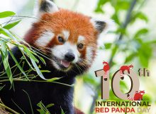international red panda day 2019