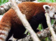 red panda roter panda panda roux guadeloupe