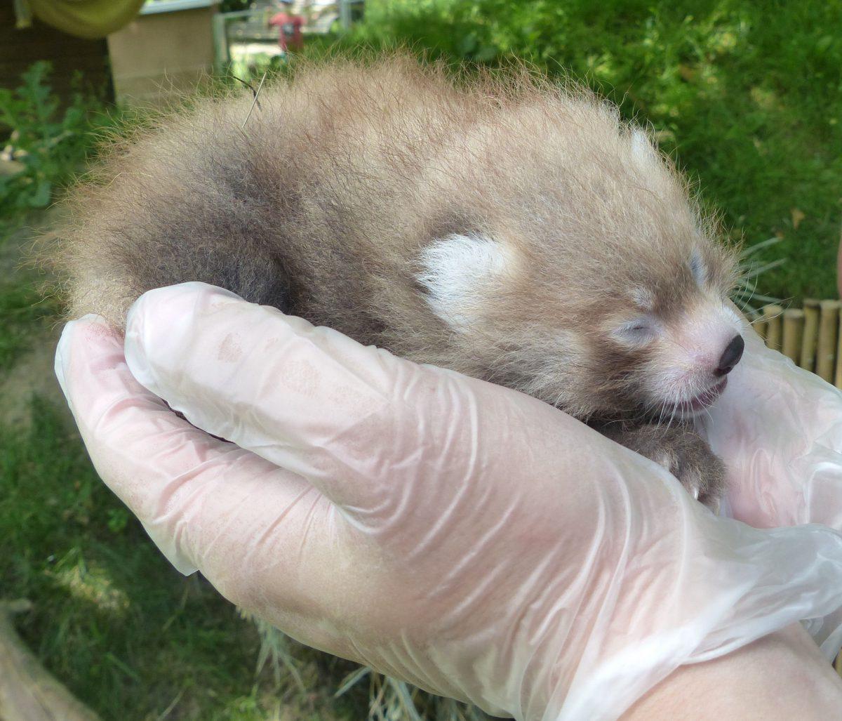 roter panda nachwuchs zoo neuwied wird untersucht
