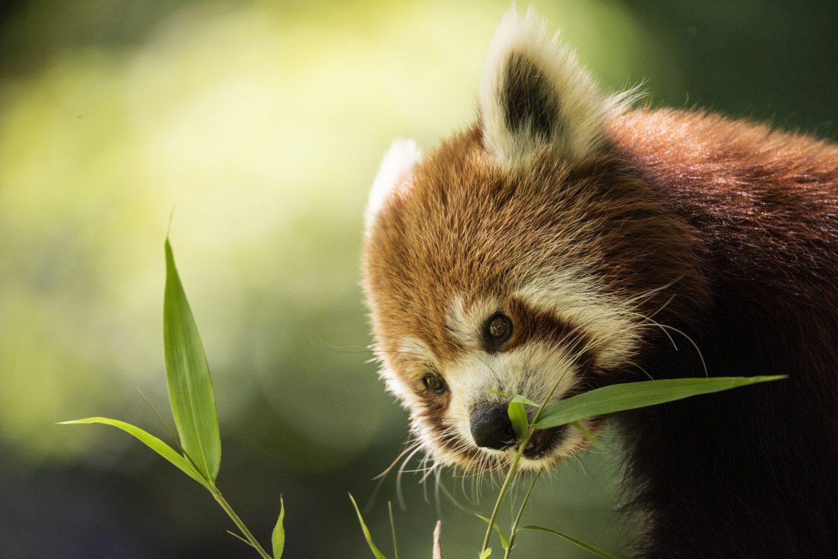 roter panda sum zoo neuwied