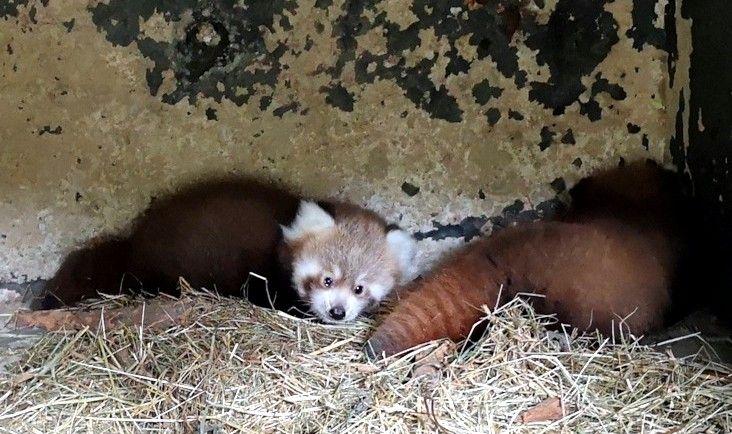 rote pandas nachwuchs im zoo neuwied