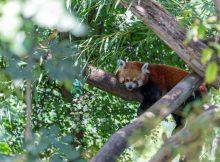 roter panda zoo schönbrunn wien