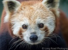 red panda mogo wildlife park