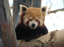 guinness buch der rekorde roter panda