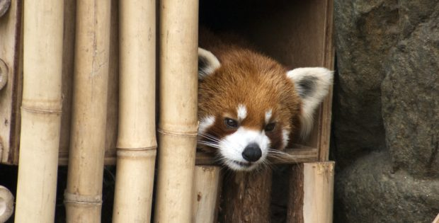 red panda home