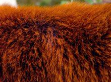 red panda hide roter panda fell
