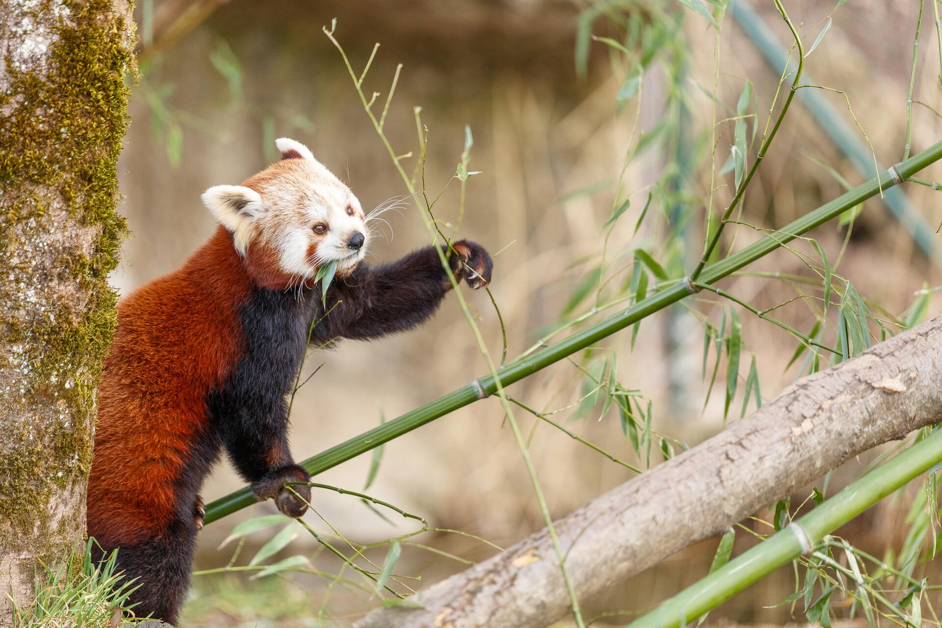Roter Panda im Zoo Hellbrunn in Salzburg