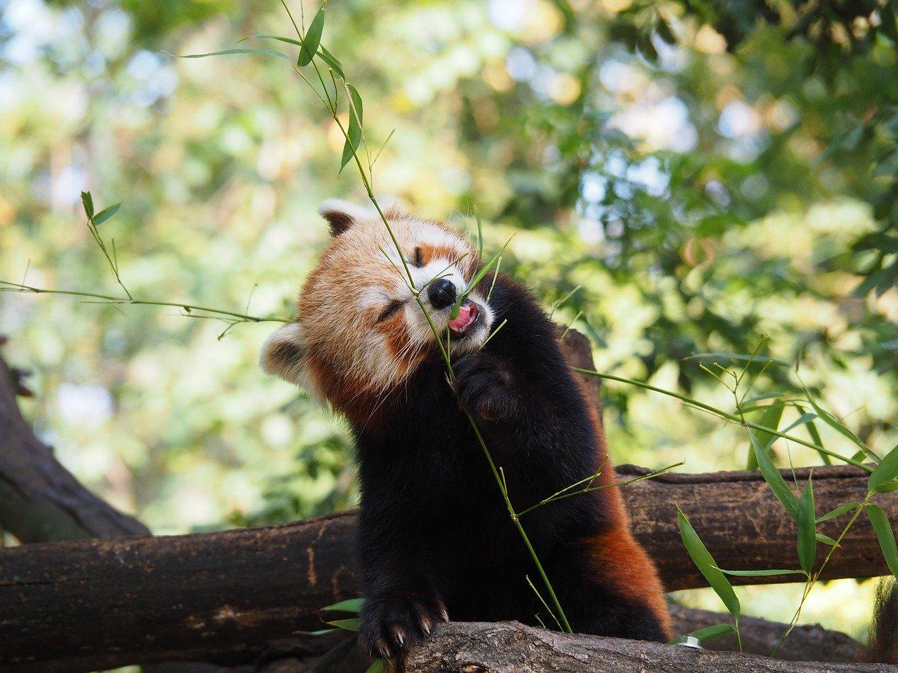 roter panda bambus red panda bamboo