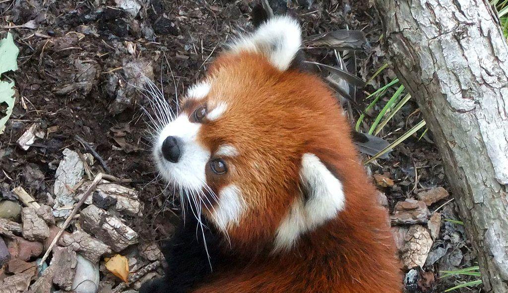 red panda styani myanmar