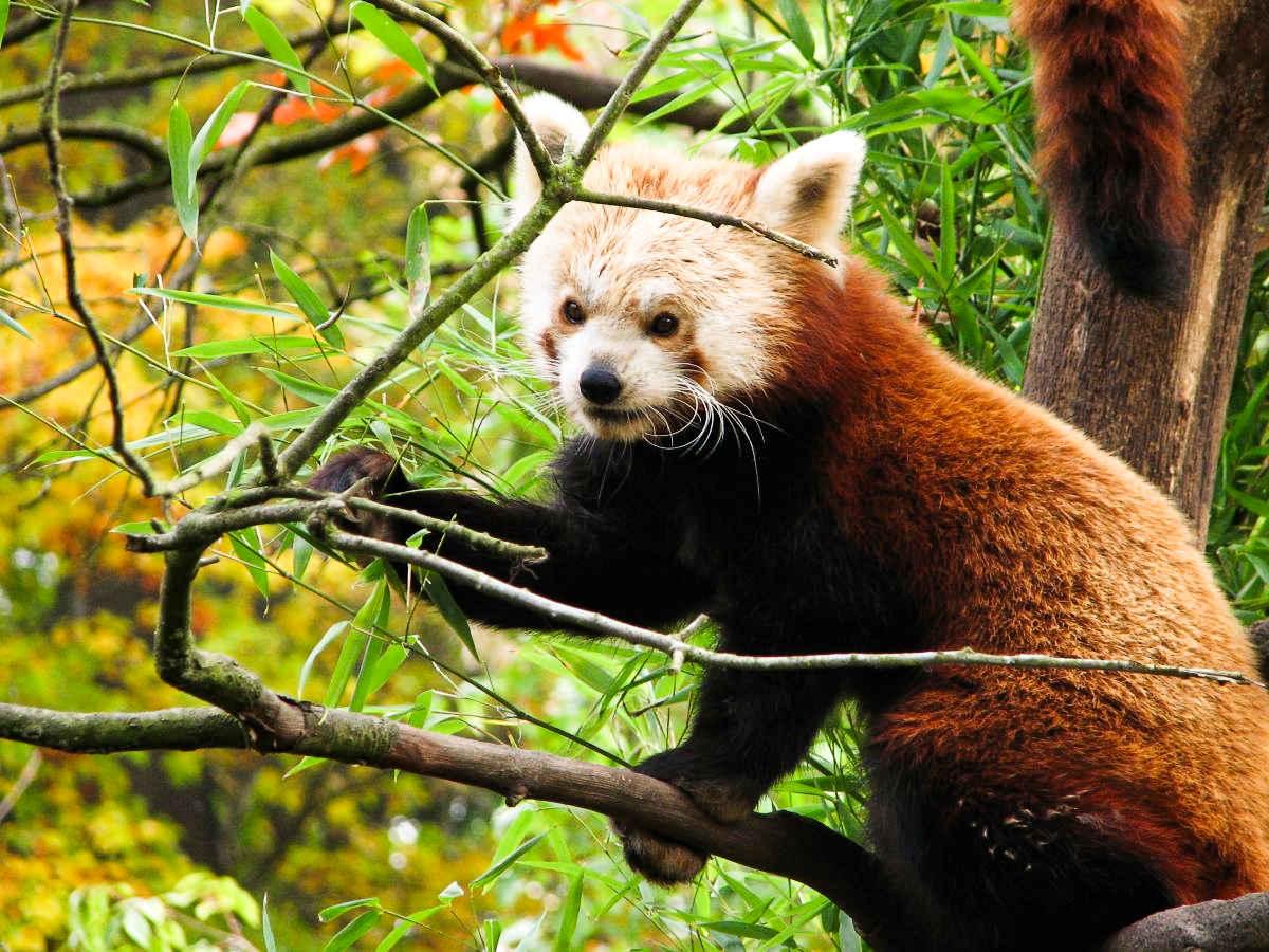 roter panda shana erlebniszoo hannover