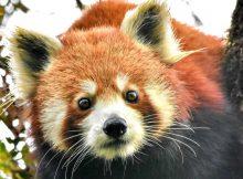 red panda roter panda wildbahn wild