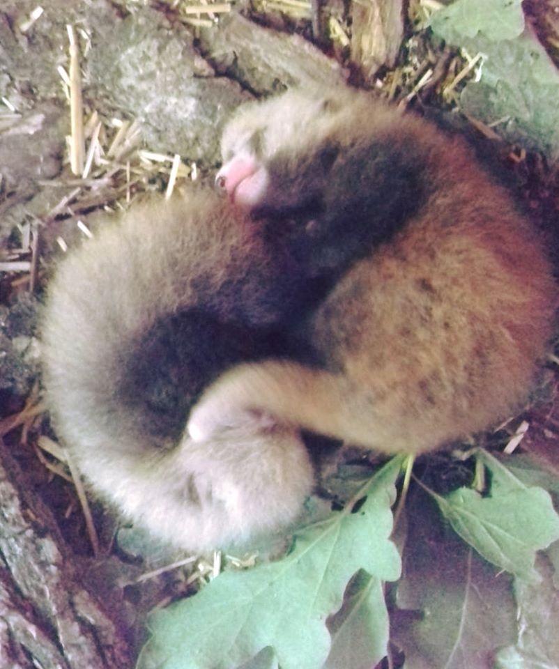 Parc Animalier d'Auvergne panda