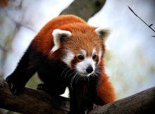 red panda roter panda mibro pixabay