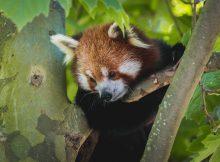 red panda roter panda