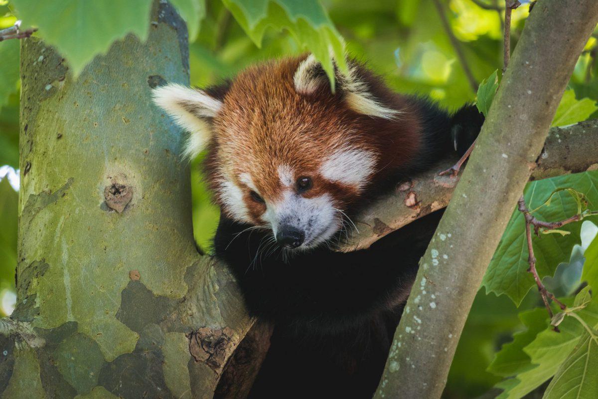 red panda roter panda quentin grignet unsplash
