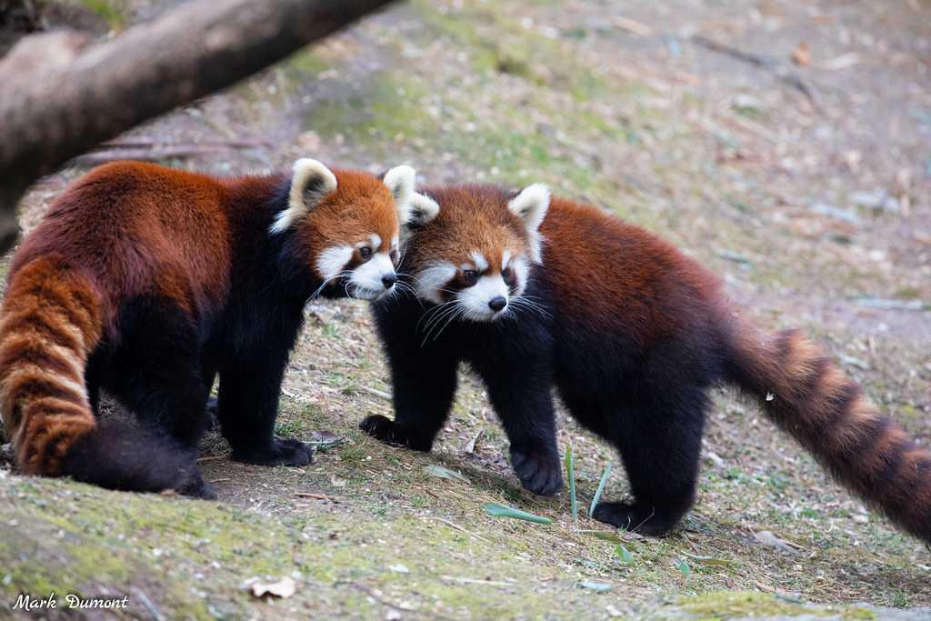 red pandas cincinnati zoo lin pregnant
