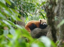 red-panda-padmaja-naidu-himalayan-zoological-park-photo-ankur-panchbudhe-flickr-cc