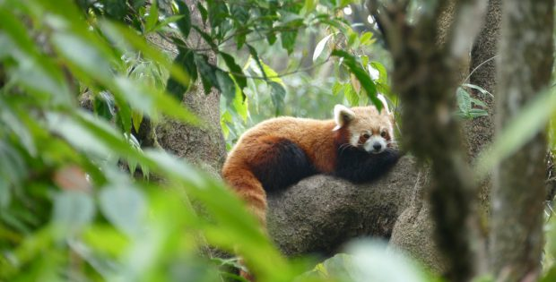 red-panda-padmaja-naidu-himalayan-zoological-park-photo-ankur-panchbudhe-flickr-cc