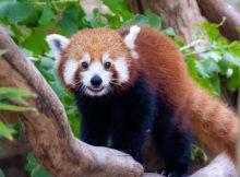 red panda taronga zoo tarryn myburgh unsplash
