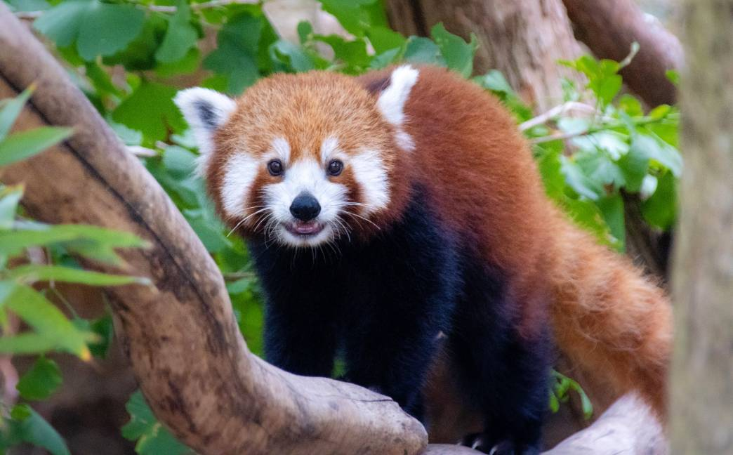 red panda taronga zoo tarryn myburgh unsplash