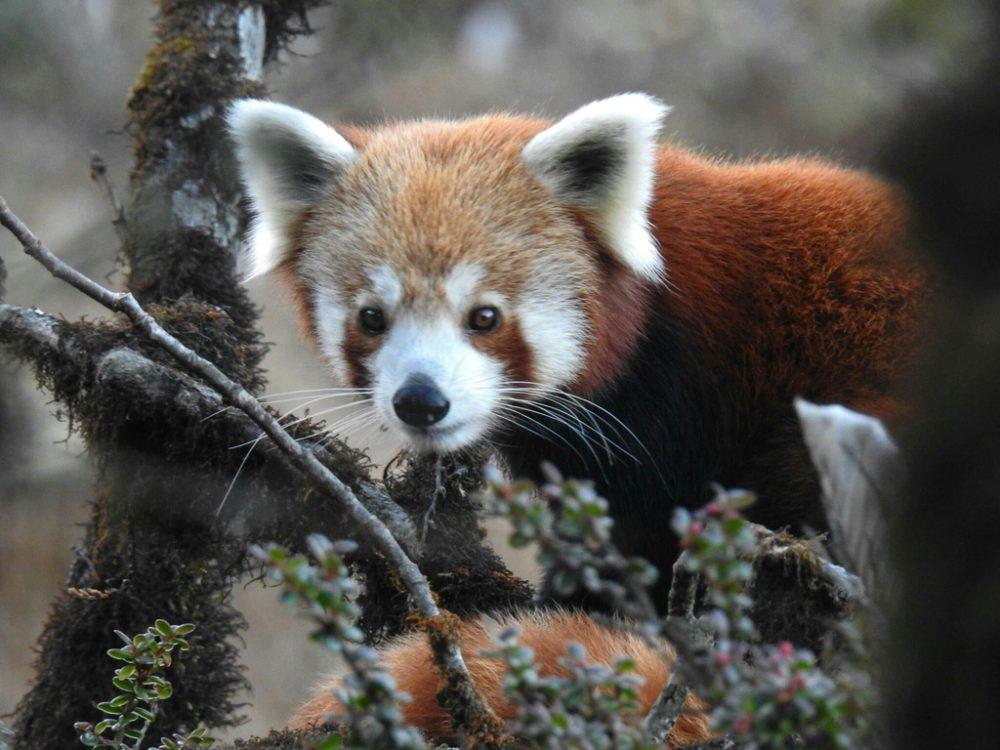 roter panda freie wildbahn red panda in the wild