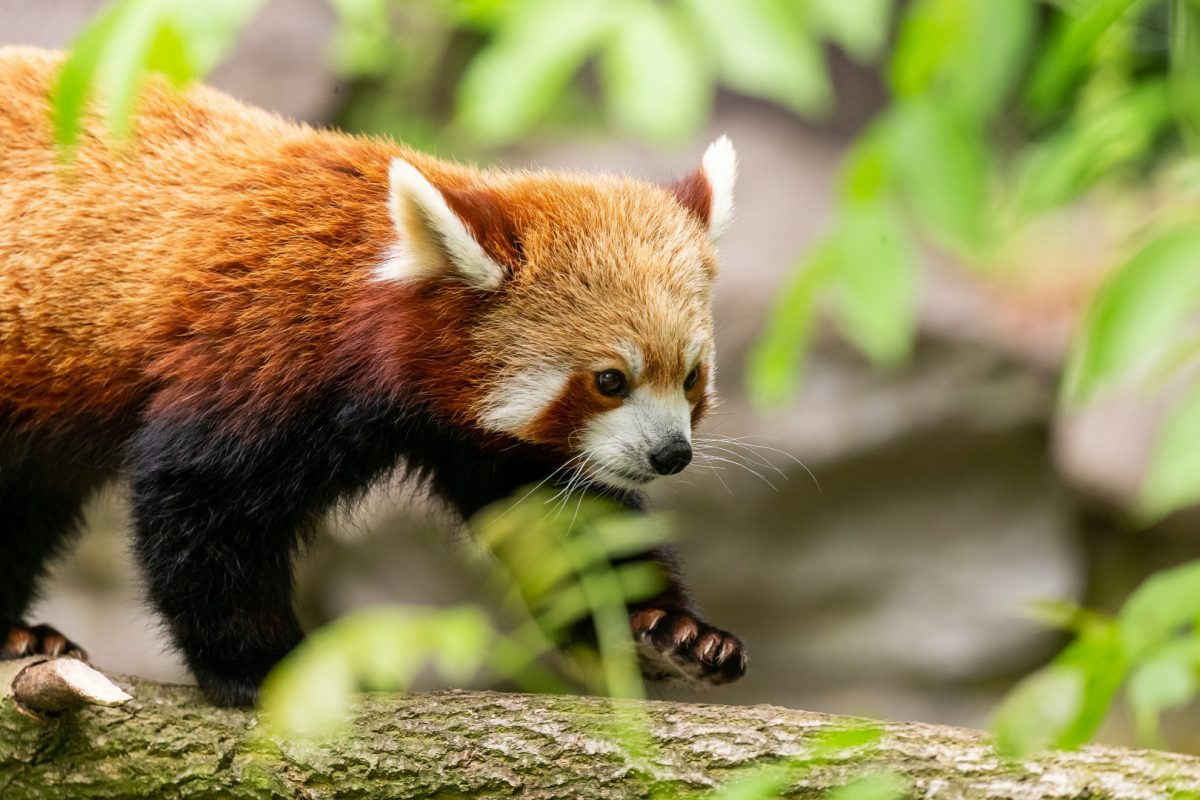 roter panda tierpark berlin