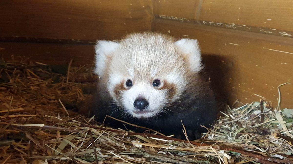 tierpark berlin roter panda baby