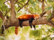 roter panda schlafen red panda sleeping