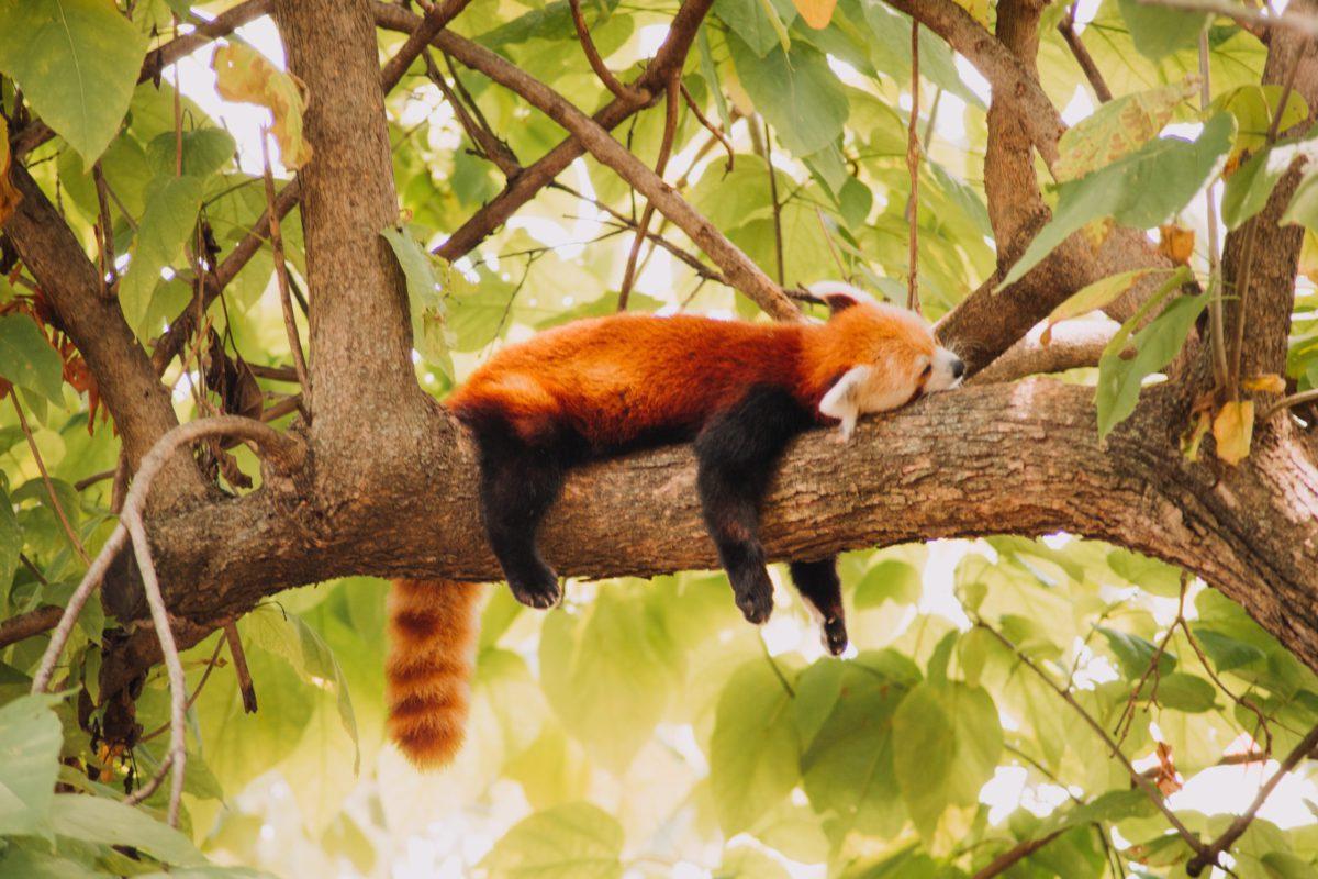 roter panda schlafen red panda sleeping