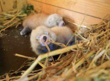 rote pandas red pandas pairi daiza