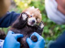 roter panda nachwuchs hellabrunn münchen