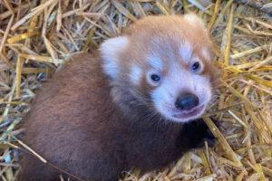 red panda cub roter panda zsl whipsnade zoo