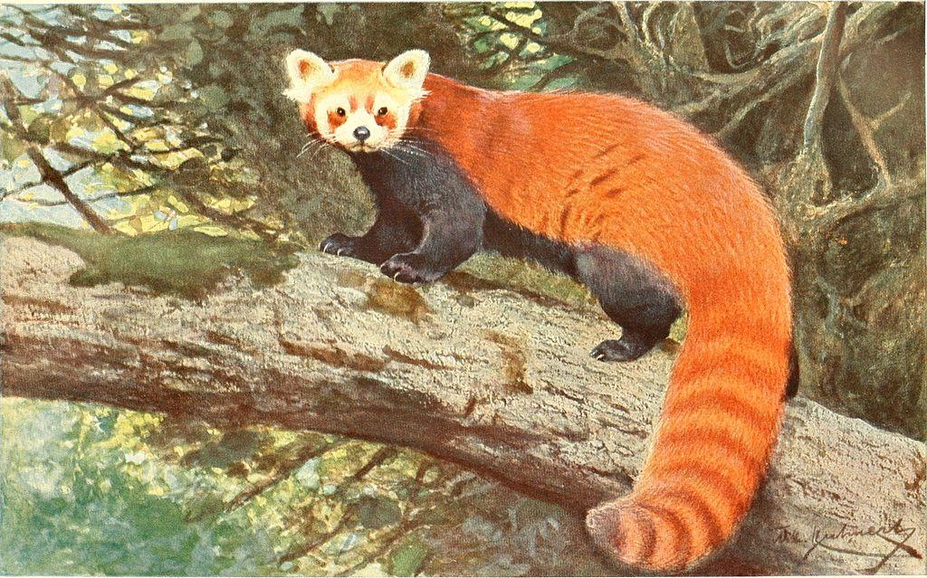 brehms roter panda