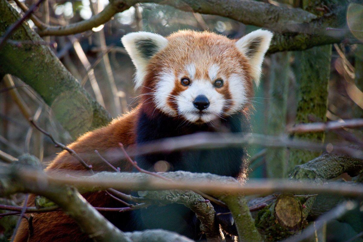 rote pandas in österreich