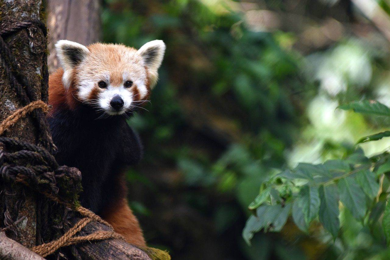 red panda photo of the month bisakha datta