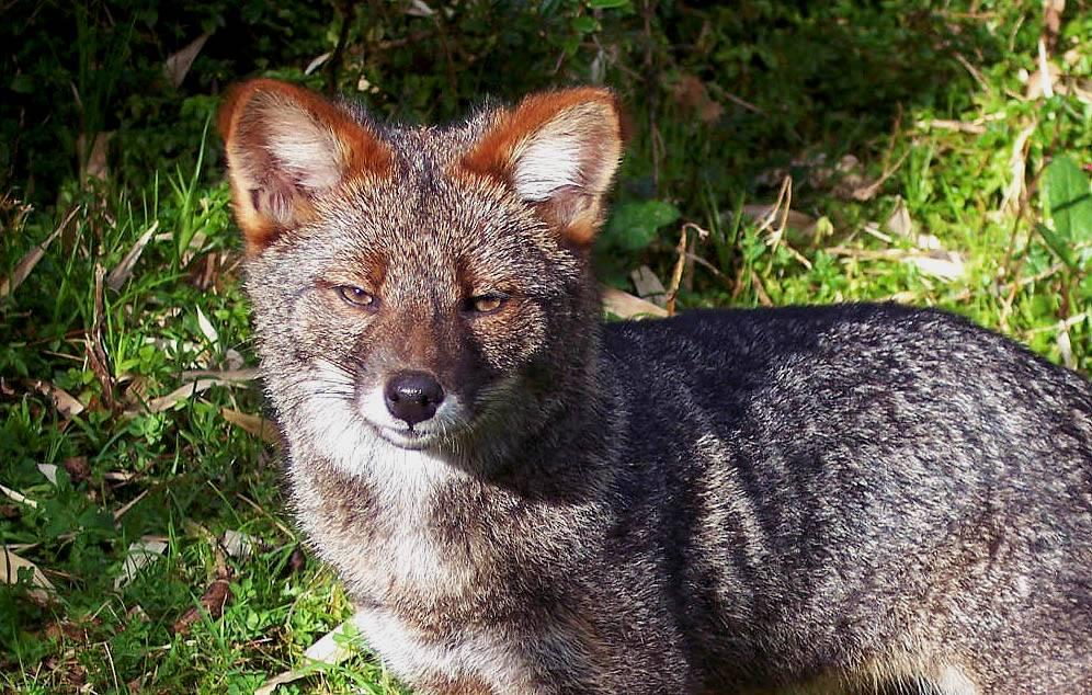 darwin's fox chile