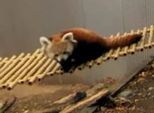 red panda webcam john ball zoo